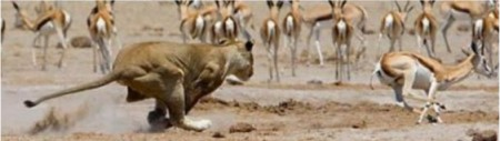 lion-chases-gazelle